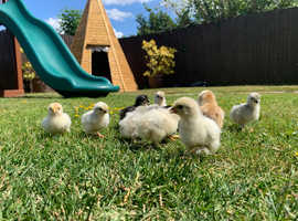 Beautiful Pekin Bantam Chicks READY NOW