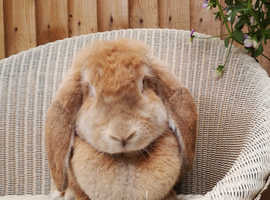 Giant French lop female