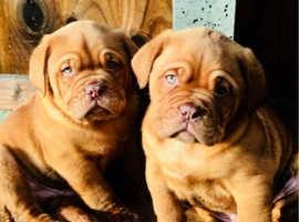Stunning Kennel Club Reg Dogue De Bordeaux Pups