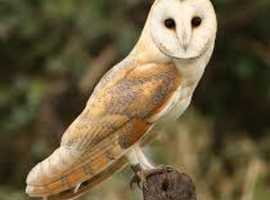 2 male barn owls not not hand tame 45 each or 55 pound for the 2 no offers