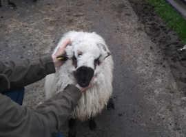 Valais blacknose sheep cross ram lambs