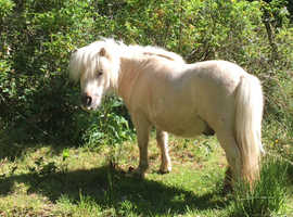 Mini Shetland geldings looking for a new home.