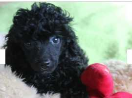 Pra clear kc reg toy poodle for sale