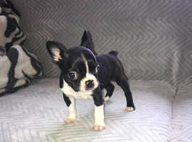 Boston terrier puppies for sale ready now