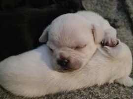 Beautiful white male chug pup