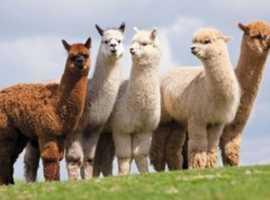 Wanted 3 or 4 'pet' alpacas