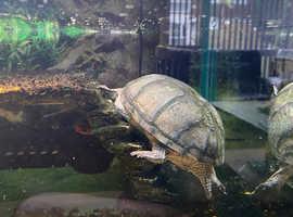 2 musk turtles