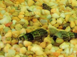 10 x Anentome Helena Killer Snails