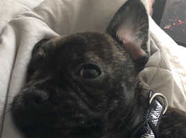 French Bulldog X Jack Russel for sale