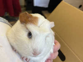 Guinea pig rehoming and adoption service