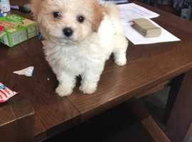 Beautiful cavachon