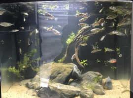 Sticklebacks fish for SALE