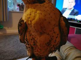 Gyr falcon male