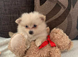 Teddy bear Pomeranians