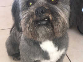 Lhasa Apso for stud
