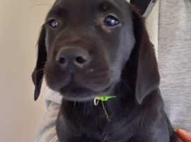 Goldadors pups