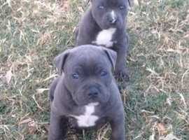 Relisted Quality Kc Male Blue Sbt Puppy