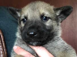 3 dog puppies German Shepherd c Malinois