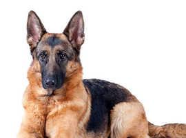 Wanted: German Shepherd Puppy