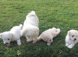 Bichon frise puppies for sale ready to go now