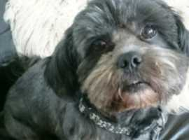*Gorgeous lhasa apso for stud*