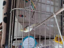 Cockatiel Hen