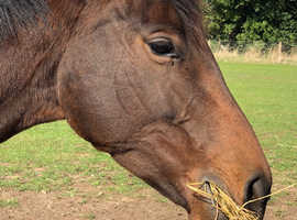 15.3hh Bay Tb mare lovely horse for the future
