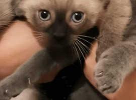 Siamese chocolate point kitten