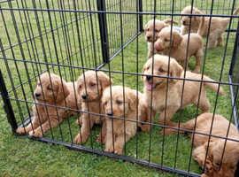 Beautiful labradoodles puppies
