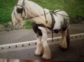 13.3 hh 9-10 yo Piebald Cob Stallion