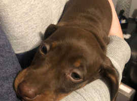 Minature Dachshund, KC reg, Pure Bred
