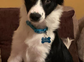 FLOKI , 7month old border collie.  ( male )