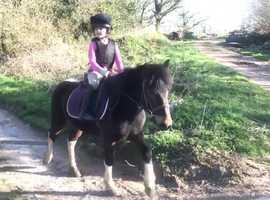 12hh LR/FR Dartmoor hill pony