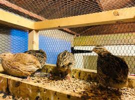 Quail hatching eggs