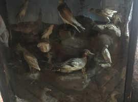 Cases bird taxidermy