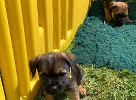 Border terrier boys ready now