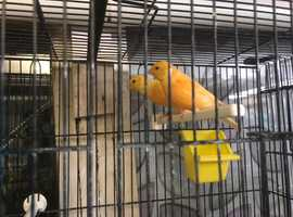 Various canaries for sale - orange factor, diaphormic, crested etc
