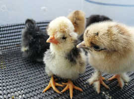 Polish and Cross Silkie Chicks for Sale