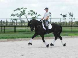 7 Years Old Courageous & Brave 17 H, 2014, Black Friesian Gelding For Sale.