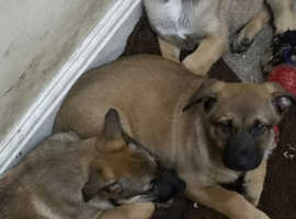 Ready to leave to leave! Belgium shepherd puppies