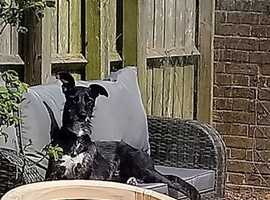 Gorgeous male lurcher seeking a forever home in South Devon