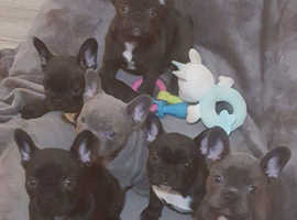Kc French bulldogs for sale