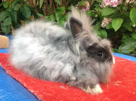 ENGLISH ANGORA X DOUBLE MANED LION HEAD