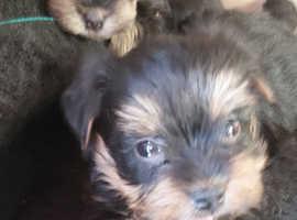 Biewer terrier puppies, colourful Yorkshire terrier