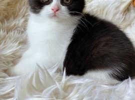 Black and white British Shorthair