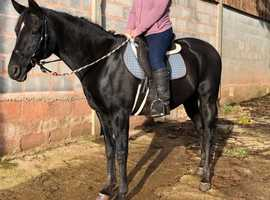 15.3hh Arab Mare for loan from current yard