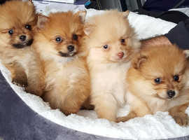 Beautiful pomaranian pups for sale