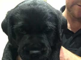 KC Registered Black Labrador Puppy (1 Girl Left)