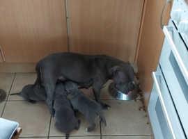 Stunning  Staffordshire pups
