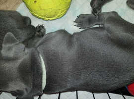 Staffordshire bull terriers with outstanding bloodlines and excellent